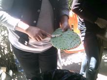 woman peeling nopales