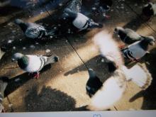 group of pigeons on sidewalk